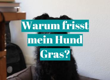 Warum frisst mein Hund Gras?